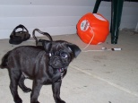 Brand new puppy Mr. Puggles looking more like a black cat than a Pug.