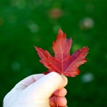 The beauty of a maple leaf stands in contrast to the still-green grass in Sun Prairie, Wis.