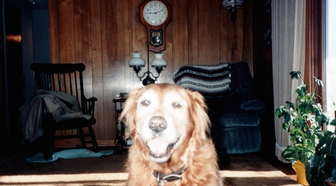 An Open Letter to My Golden Retriever Pal, Korby